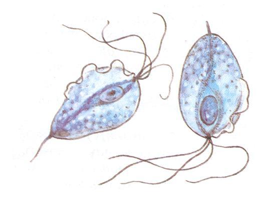 трихомониаз выявляется при обследовании на венерические заболевания
