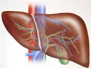 Анализы на функции печени определяют характеристики работы печени и скорость отмирания клеток печени.