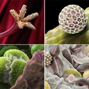 Пыльца - аллерген